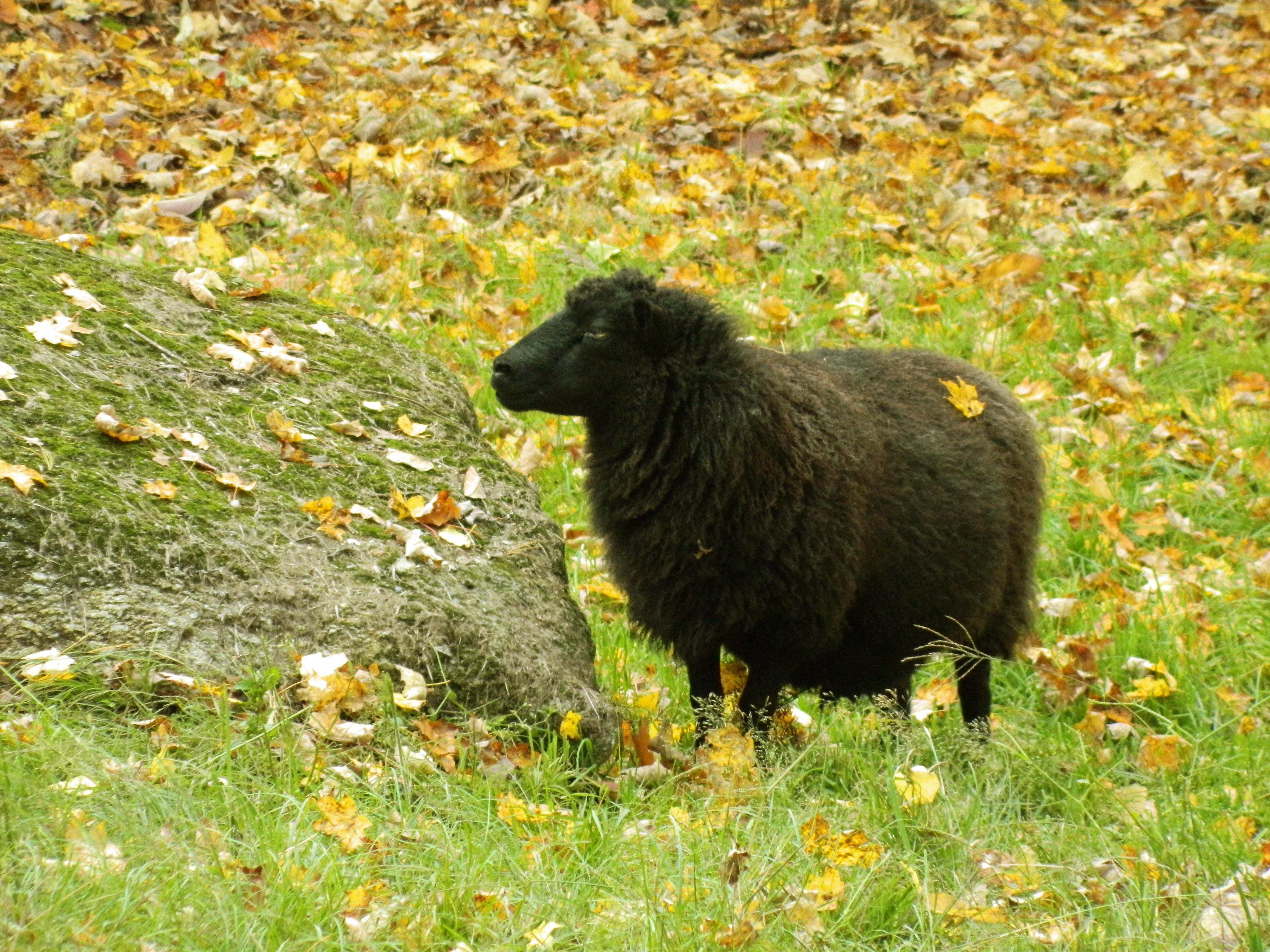 Black Sheep Come On