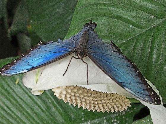 The blue ones are quite dull with their wings closed, but open to this iridescent color.