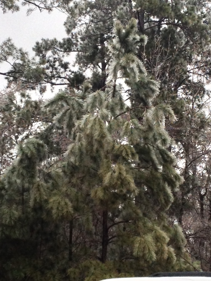 Frosted pine.