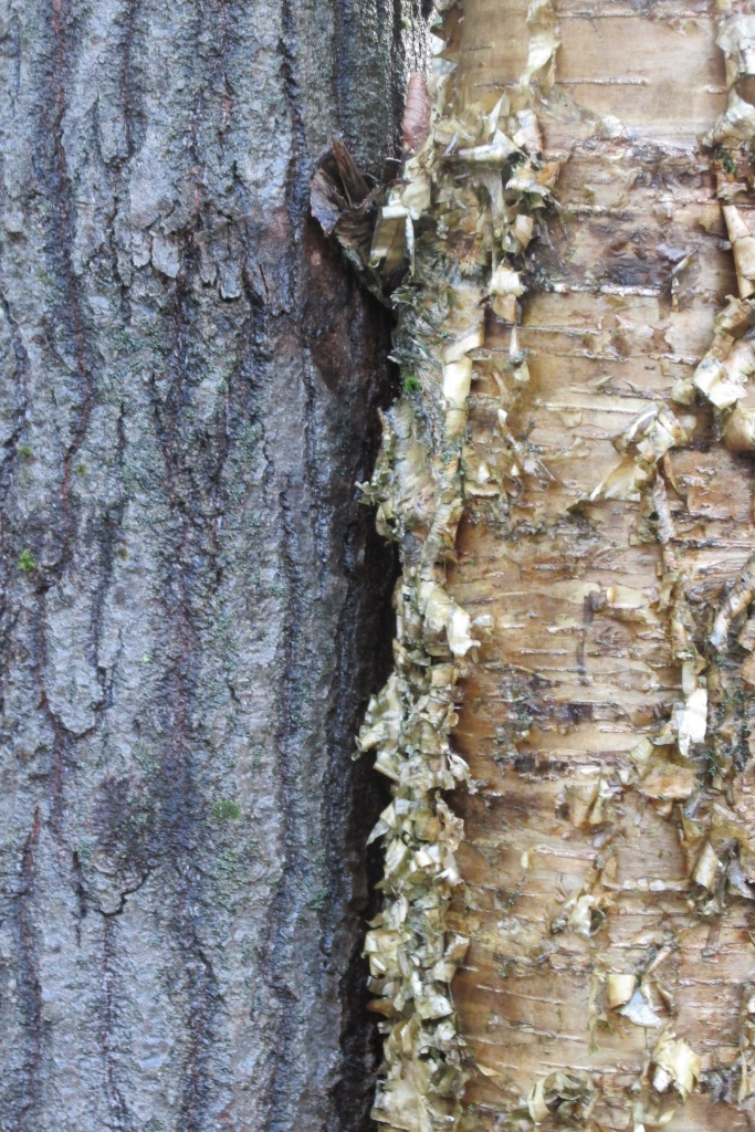 tree bark is very different, one of the easiest ways to identify trees in the winter.