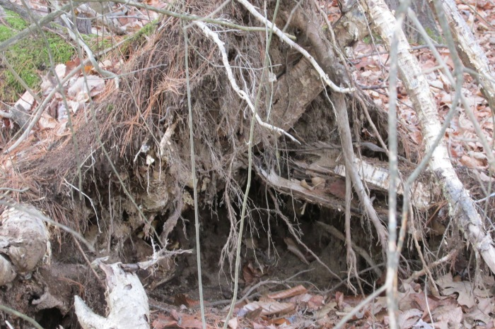 this fallen tree has roots that will make it a great home for small mammals this winter.