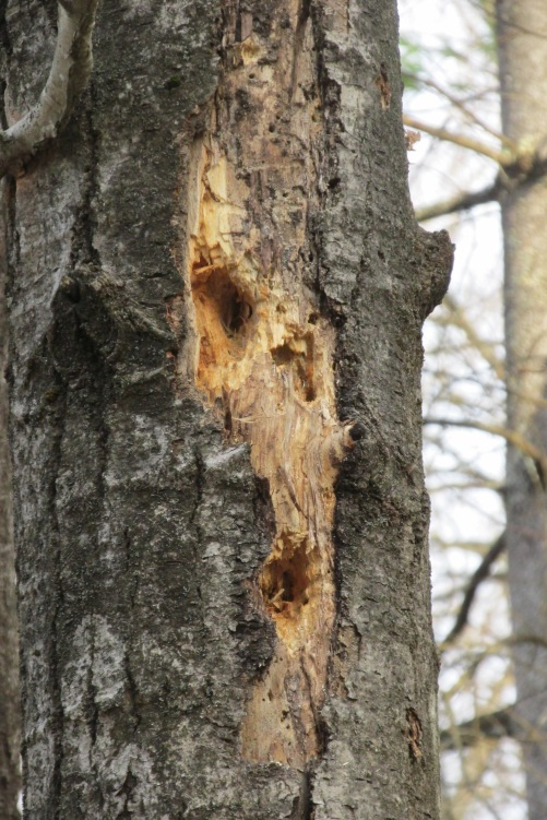woodpeckers eat from live trees, but a dead standing tree is a good source of food for birds.