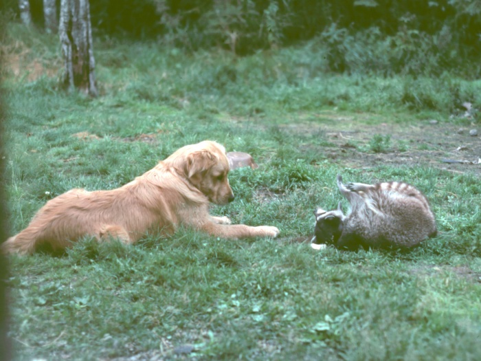 Dogs and mom, those kids were competition!  But he lived a long life!  Raccoons are tough!