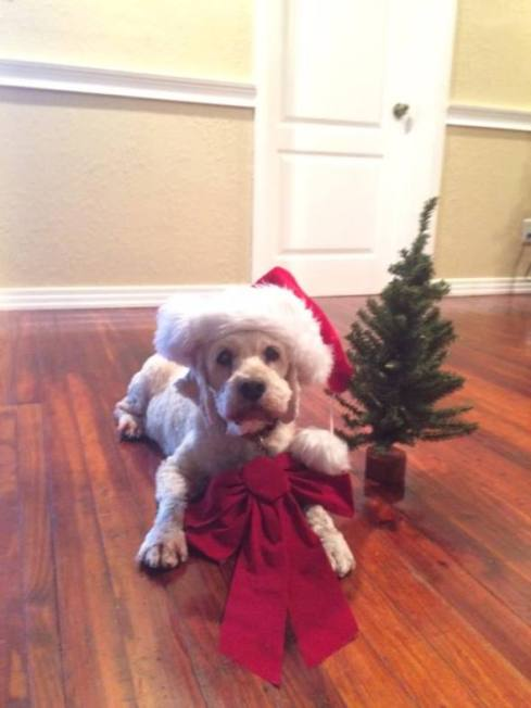 My favorite detective dog Watson has his own tree, and enjoys the adult tree! he's such a good sport also! (his favorite room is the kitchen!)