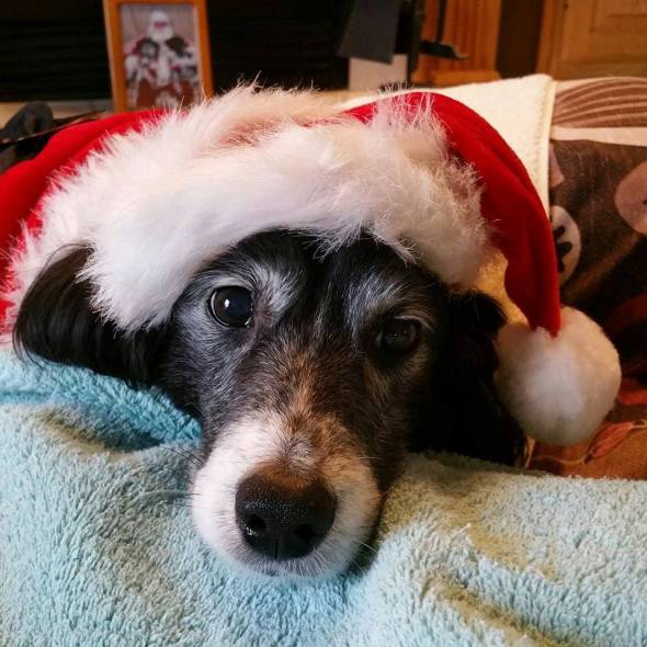 This is MR.CHRISTMAS. He was a holiday time lost dog, underweight and in need of care. A kind stranger took him in, and his foster parents adopted him after he proved to be happy living with the two dogs of the family. He has his own FB page, Mr.Christmas got the best gift of all HIS OWN FAMILY!